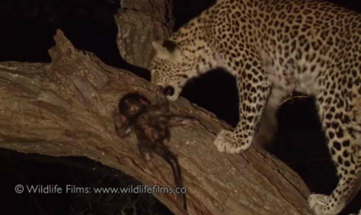 Leopardo encuentra un mono bebé en medio de la noche y su impensada reacción se vuelve tendencia